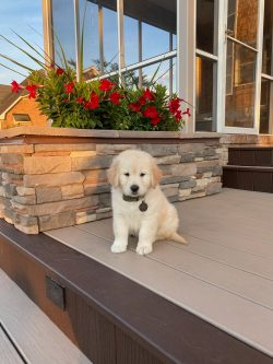 Oakley, Golden Retriever Puppy