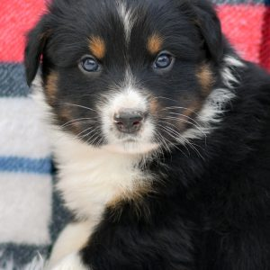 australian shepherd puppy for sale