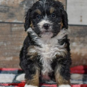 cute cuddley playful mini bernedoodle puppies, ohio puppy adoption