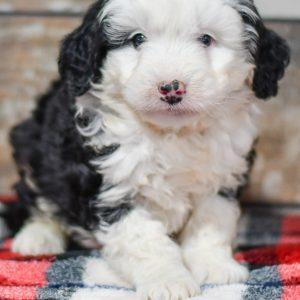 cute cuddley playful mini bernedoodle puppies, ohio puppy adoption