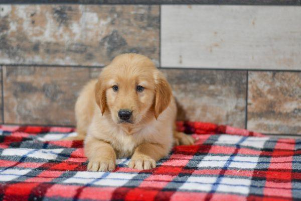 Cute & Adorable Golden Retriever puppy for sale and seeking adoption into a loving furever home!