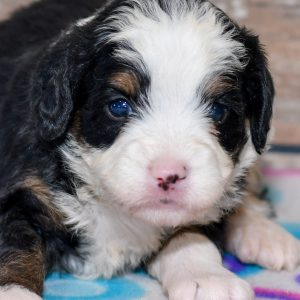 mini bernedoodle puppy for sale