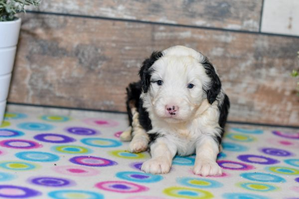 Cute mini bernedoodles looking for home. Puppies for sale in ohio. Mini bernedoodle puppies.