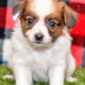 Playful puppies from All Star Puppies. This loving Papillon Puppy is looking for a forever home. Puppies for sale.
