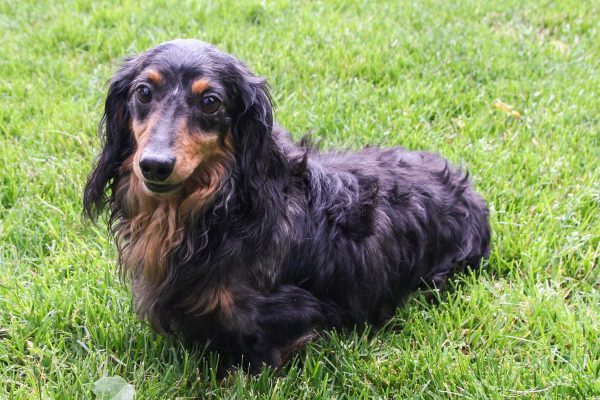 Dachshound pup for sale ohio, cute, cuddly, playful pups parent male