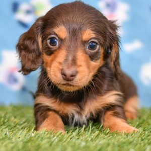 Adorable Dachshund puppy for sale and seeking adoption into a loving furever home!