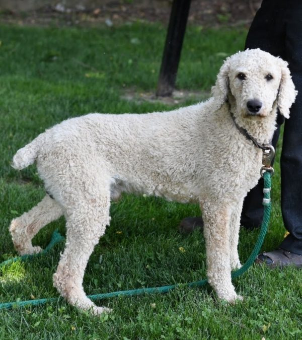 max father akc white poodle pup for sale ohio