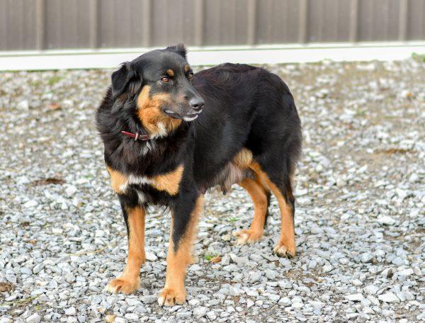 misty mother australian shepherd black and tan pup for sale ohio