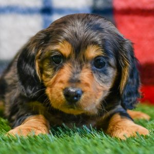 Dachshound pup for sale ohio, cute, cuddly, playful pups