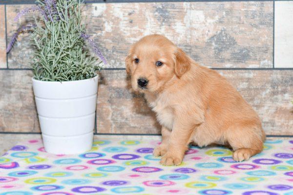 puppies, golden retriever, pup, all star puppies