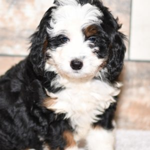 cute cuddley playful mini bernedoodle puppies, ohio puppy adoption Valentines pup
