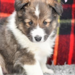 Beautiful Sheltie Puppies at play. For sale playful puppies of Ohio. Cute and cuddly playful pups for sale