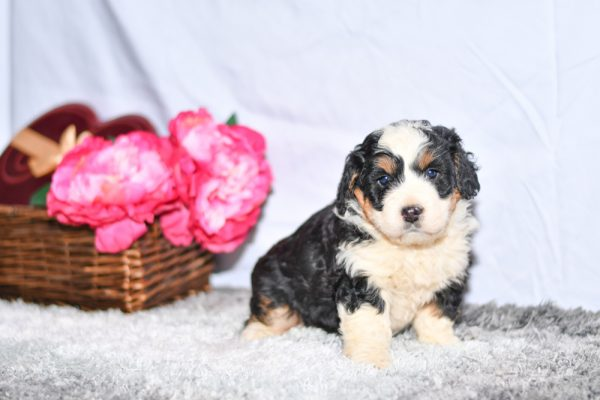 cute cuddley playful mini bernedoodle puppies, ohio puppy adoption Valentines pupcute cuddley playful mini bernedoodle puppies, ohio puppy adoption Valentines pup