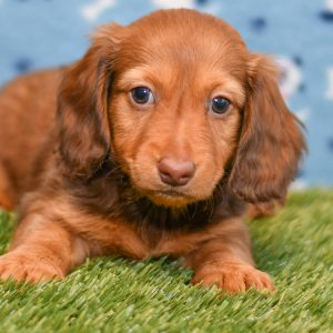 Adorable Dachshund puppy. Cute red dachshund puppies for sale ohio