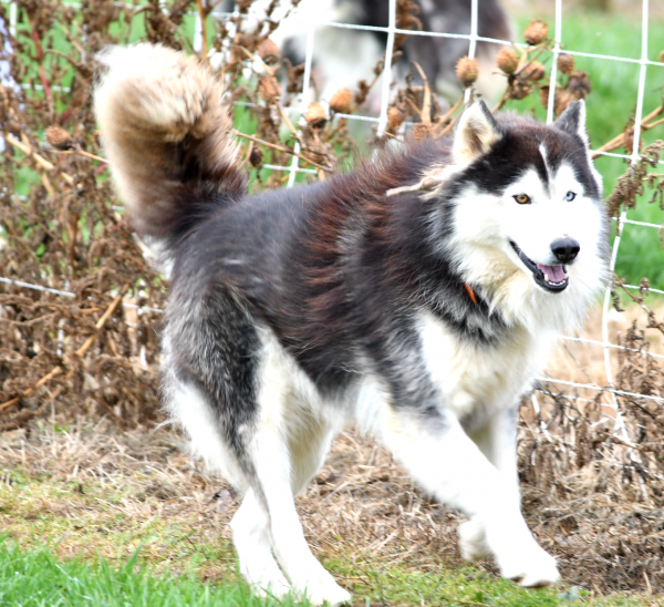 Husky Father of cute litter of little huskies. For sale ohio