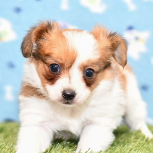 Beautiful Papillon Puppies at play. For sale playful puppies of Ohio. Cute and cuddly playful pups for sale