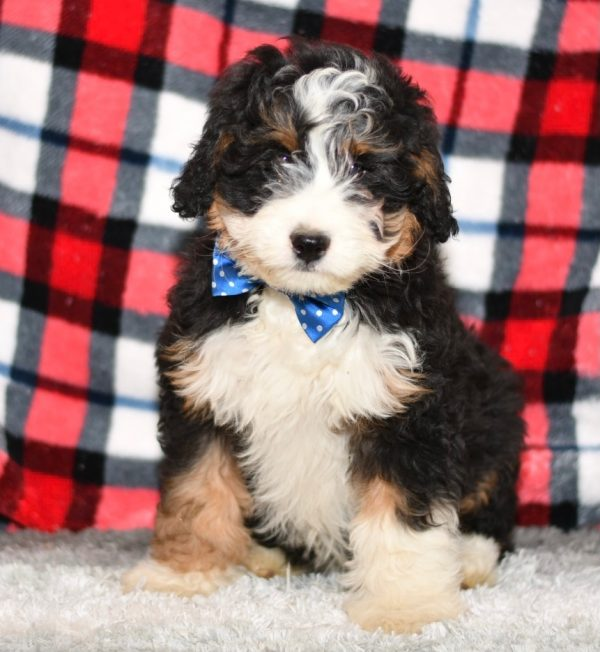 Beautiful Puppies at play. For sale playful puppies of Ohio. Cute and cuddly playful pups for sale