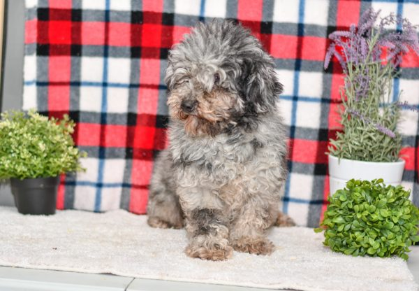 Poodle Father of Havapoo Litter for sale puppies ohio