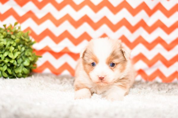Beautiful Aussie Puppies at play. For sale playful australian shepherd puppies of Ohio. Cute and cuddly playful pups for sale