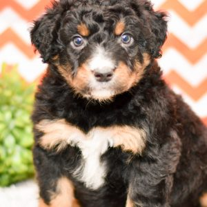 Beautiful Aussie Puppies at play. For sale playful aussiedoodle puppies of Ohio. Cute and cuddly playful pups for sale