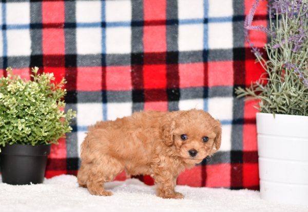 Cute & Adorable F1b Mini Cavapoos puppy for sale and seeking adoption into a loving furever home!