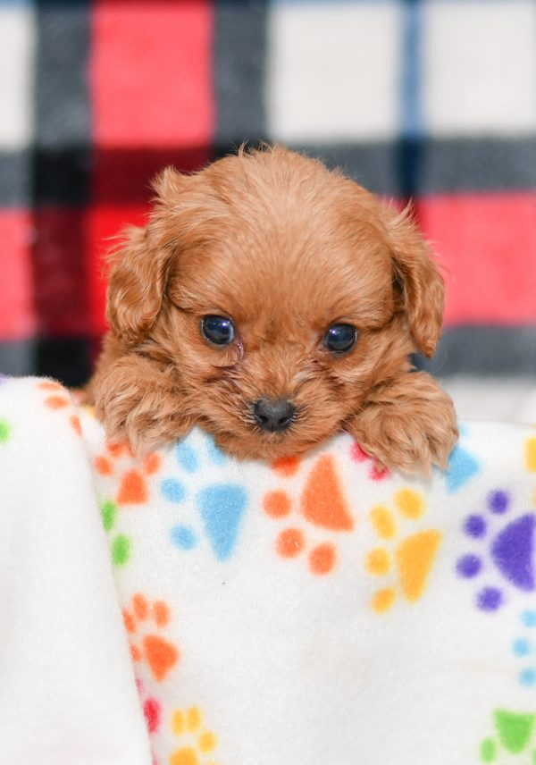 Cute & Adorable Mini Cavapoos puppy for sale and seeking adoption into a loving furever home!