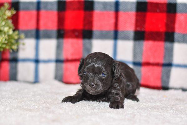 Adorable havapoo puppy. Ohio adoption of cute puppies