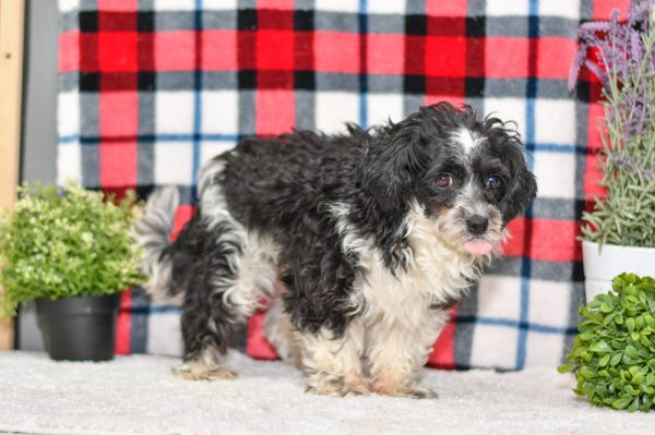 Havanese Mother of Havapoo litter for sale ohio