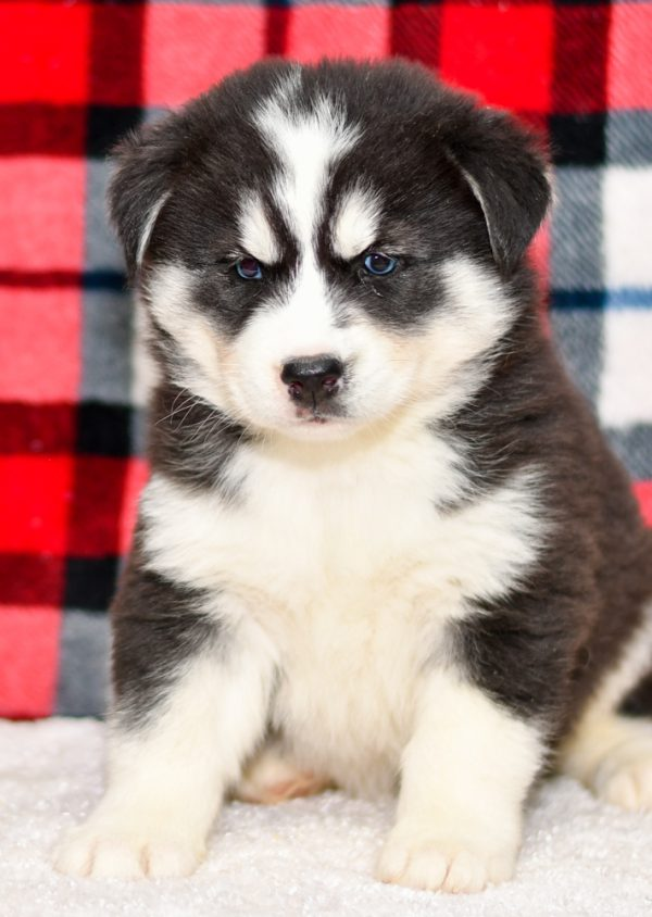 Beautiful Husky Puppy at play. For sale playful puppies of Ohio