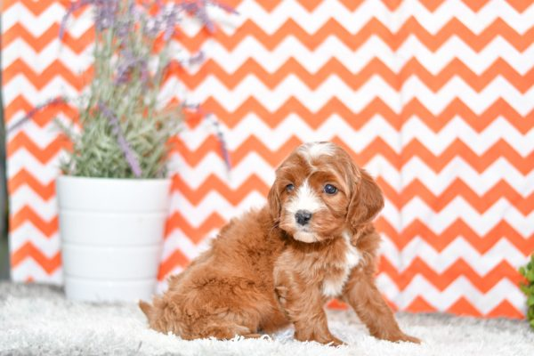 Beautiful Cavapoo Puppies at play. First Generation Cavapoos For sale playful puppies of Ohio. Cute and cuddly playful pups for sale