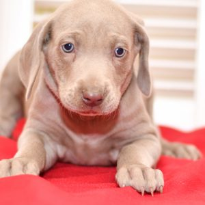 cute cuddley playful mini weimaraner puppies, ohio puppy adoption Valentines weimaraner pup