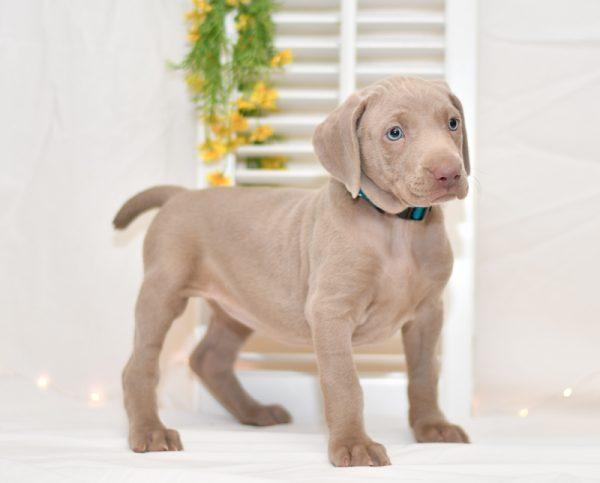 cute cuddley playful mini weimaraner puppies, ohio puppy adoption Valentines weimaraner pup