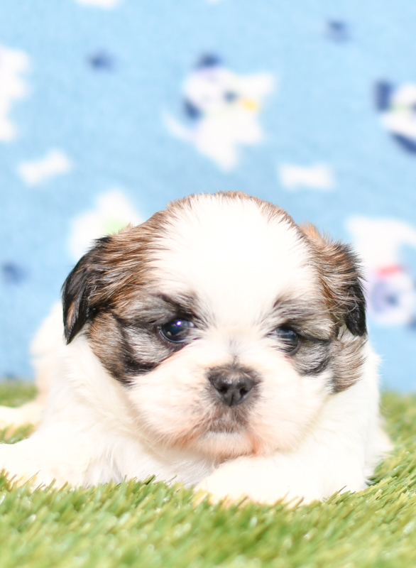 Beautiful Shih Tzu Puppies at play. For sale playful puppies of Ohio. Cute and cuddly playful pups for sale