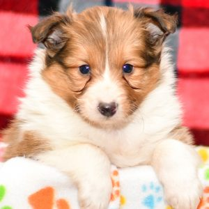 Beautiful sheltie Puppies at play. For sale playful shetland sheepdog puppies of Ohio. Cute and cuddly playful pups for sale