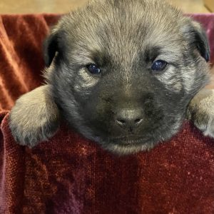 Cute & Adorable Norwegian Elkhound puppy for sale and seeking adoption into a loving furever home!