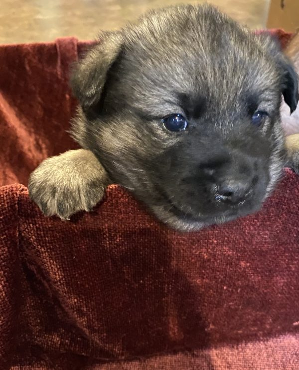 Cute & Adorable Norweigin Elkhound puppy for sale and seeking adoption into a loving furever home!