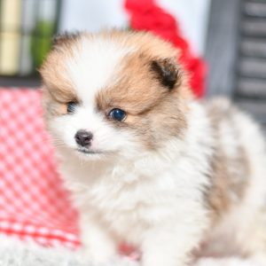 Beautiful Puppies at play. For sale playful pomeranian puppies of Ohio. Cute and cuddly playful pups for sale