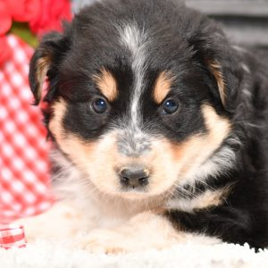 Beautiful Aussie/Collie Puppies at play. For sale playful puppies of Ohio. Cute and cuddly playful pups for sale. Australian Shepherd and Collie Mix