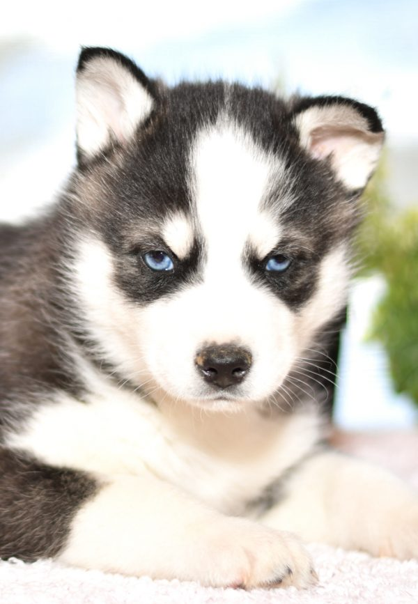 Beautiful Siberian husky Puppies at play. For sale playful husky puppies of Ohio. Cute and cuddly playful pups for sale