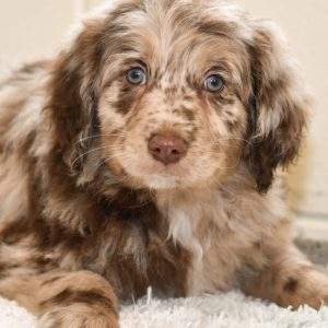 Beautiful Puppies at play. For sale playful puppies of Ohio. Cute and cuddly playful pups for sale aussiedoodles