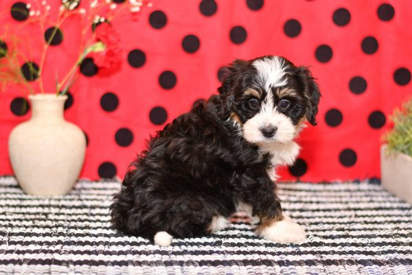 Beautiful Puppies at play. For sale playful puppies of Ohio. Cute and cuddly playful pups for sale bernedoodles