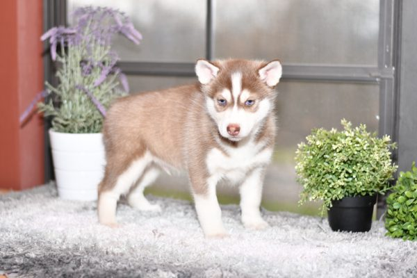 Beautiful husky Puppies at play. For sale playful puppies of Ohio. Cute and cuddly playful pups for sale