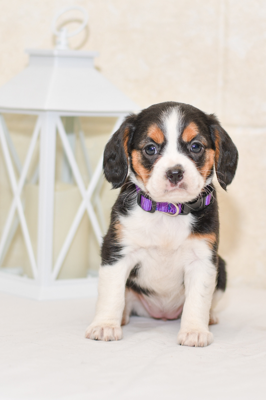 Beautiful beagle mix Puppies at play. For sale playful puppies of Ohio. Cute and cuddly playful pups for sale beagliers