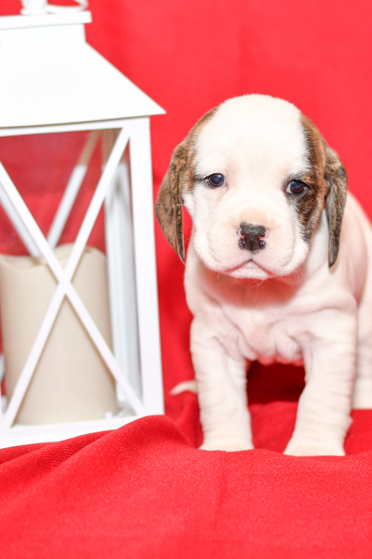 Beautiful beagle mix Puppies at play. For sale playful puppies of Ohio. Cute and cuddly playful pups for sale beabulls