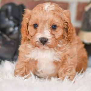 Beautiful Puppies at play. For sale playful Cavapoo puppies of Ohio. Cute and cuddly playful pups for sale