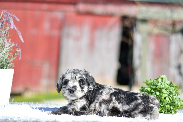Beautiful Puppies at play. For sale mini aussiedoodles playful puppies of Ohio. Cute and cuddly playful mini aussiedoodle pups for sale