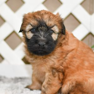 Beautiful Puppies at play. For sale soft coated wheaton terriers playful puppies of Ohio. Cute and cuddly playful pups for sale