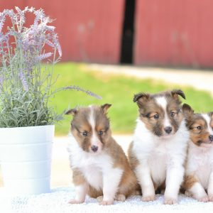 Beautiful Puppies at play. For sale mini shetland sheepdogs playful puppies of Ohio. Cute and cuddly playful mini sheltie pups for sale