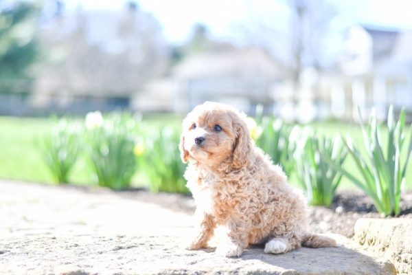 Beautiful Puppies at play. For sale cavapoo playful puppies of Ohio. Cute and cuddly playful Cavapoo pups for sale