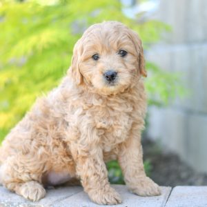 Beautiful Puppies at play. For sale mini goldendoodle playful puppies of Ohio. Cute and cuddly playful mini goldendoodle golden retreiver poodle pups for sale.